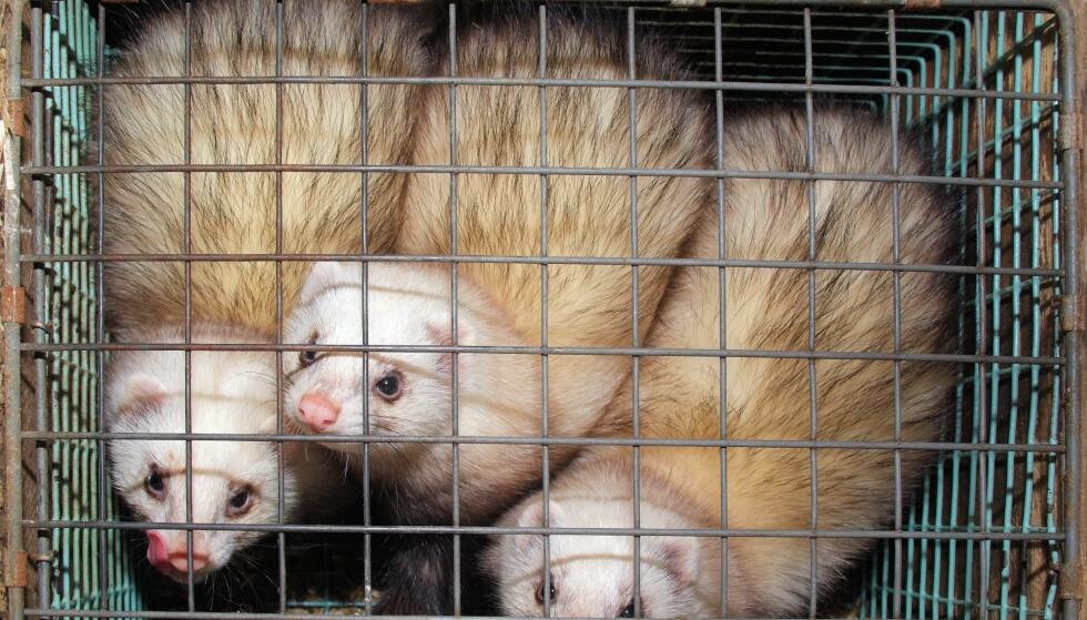 BURES INNE: For at næringen skal være lønnsom, puttes mink og rev inn i trange bur med netting på nesten alle kanter. Bildet viser tamlildere (fritter) på en dansk pelsdyrfarm. Foto: NTB Scanpix