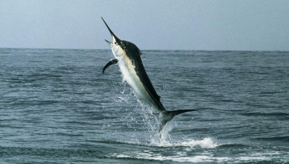 SVERDFISK: Her representert ved et arkivbilde av en svart marlin. Foto: NTB Scanpix