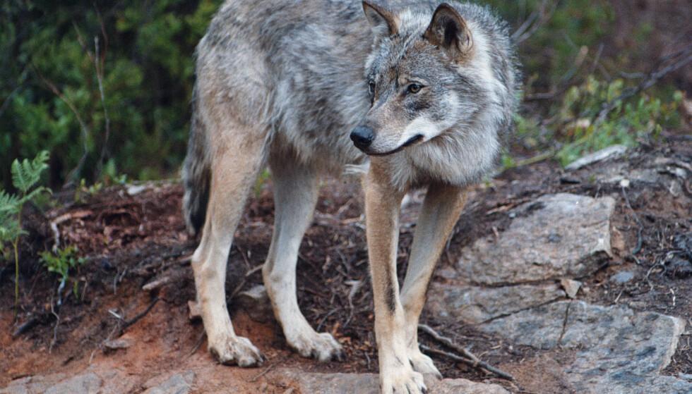 ULVESTRID: - Målet er å gjennomføre ulveforliket, sier statsminister Erna Solberg. Foto: Gorm Kallestad / SCANPIX