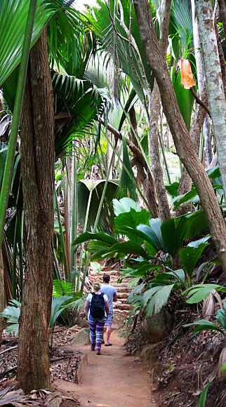 EVENTYRLIG: Øya Praslin har sin helt egen skatt - den UNESCO-vernede skogen i Vallée de Mai hvor verdens største og mest unike kokosnøtt vokser. Foto: Torild Moland / Magasinet Reiselyst