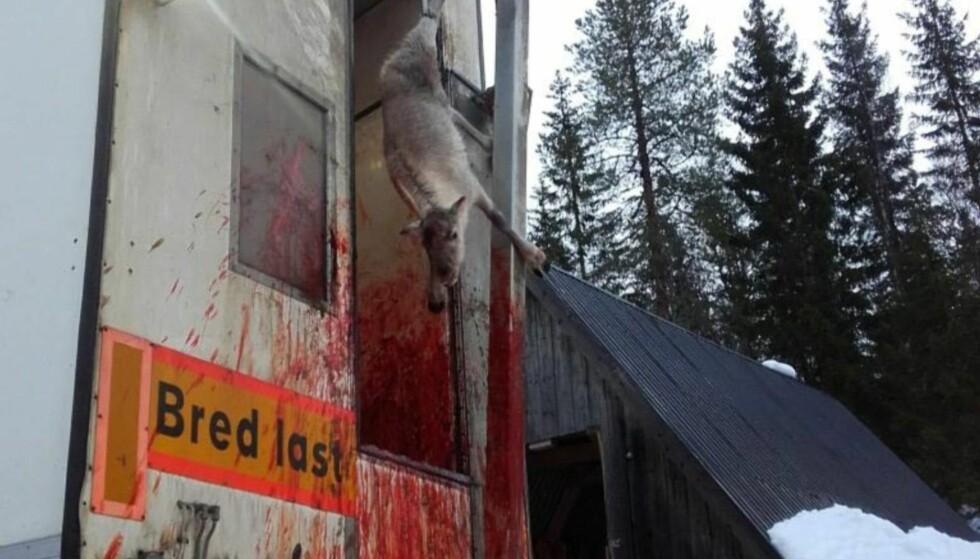 VAR MED: Granstubben barnehage i Steinkjer var i går med på reinsdyrslakting. Det har skapt en voldsom debatt. Foto: Granstubben barnehage
