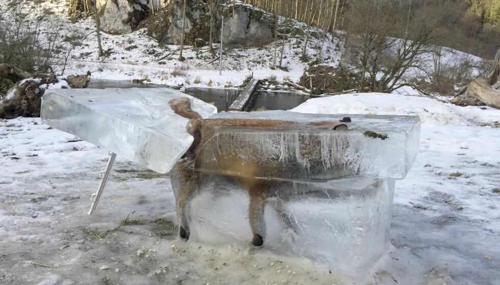 DØD: Reven skal ha blitt liggende fastfrosset i Donau en stund. Nå ser den slik ut. Foto: Johannes Stehle/dpa via AP