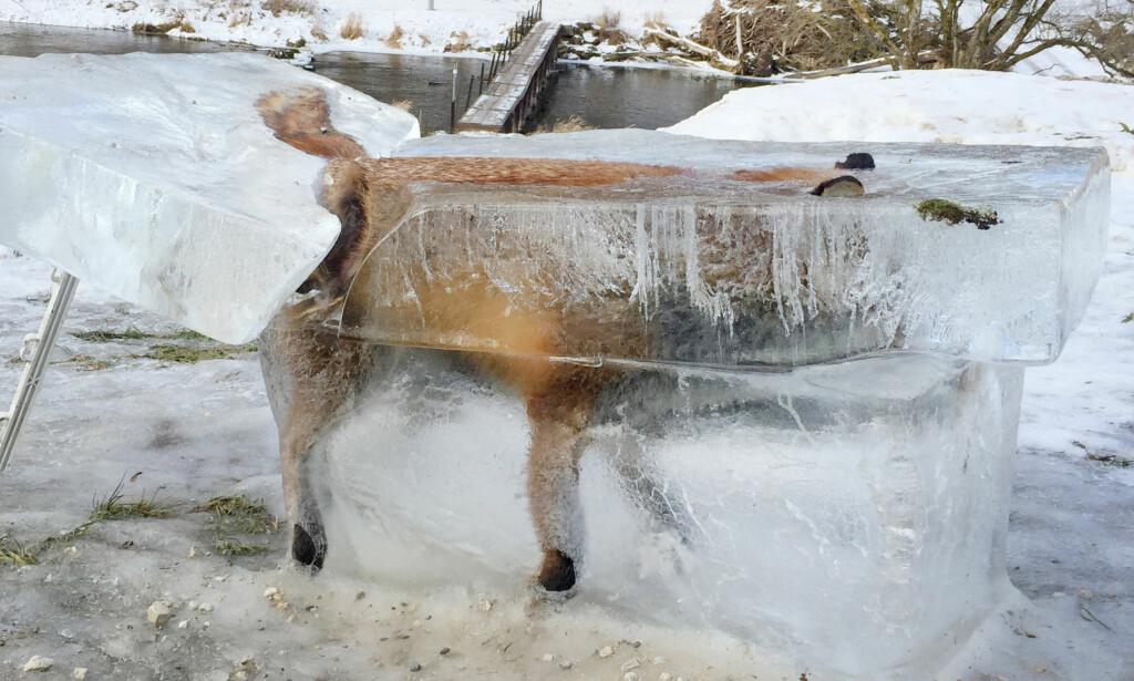 ADVARSEL: Nå fungerer reven som advarsel for andre som vil forsøke å liste seg over isen. Photo: Johannes Stehle/dpa