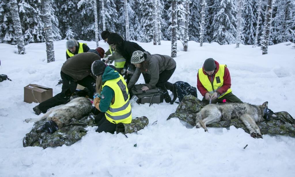 14 MERKET: Mannskaper fra Statens Naturoppsyn hadde mandag bedøvet og merket 14 av de 17-18 ulvene som skal følges med radiosender i Hedmark. Foto: Henrik Skolt, NTB Scanpix.