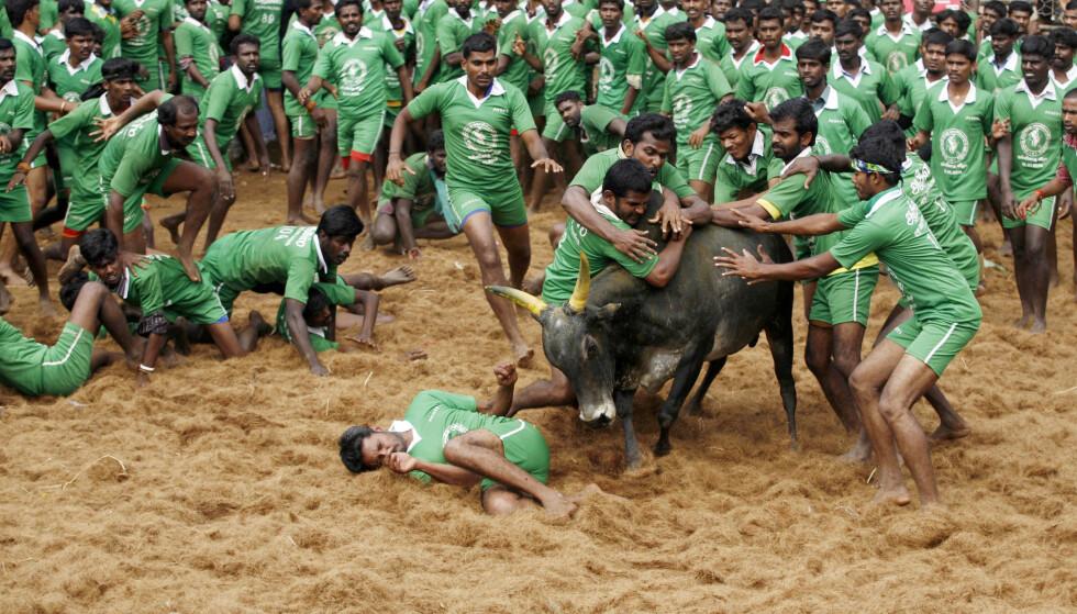 HØYST LOKALT: Den indiske sporten Jallikattu som går ut på å temme okser, har ikke slått helt an internasjonalt. Det har heller ikke India i mer kjent sport. I forhold til ressurser er landet verdens desidert svakeste idrettsnasjon. FOTO: AP/Arun Sankar K