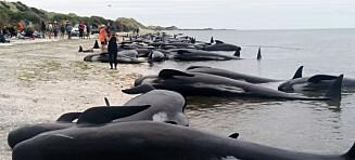 Over 400 hvaler strandet på New Zealand
