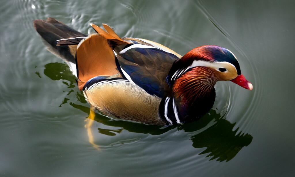 PYNTER OPP VINTEREN: En villfaren and av denne typen, en mandarinand, svømmer omkring i Ravnedalen for tida. Foto: NTB/Scanpix