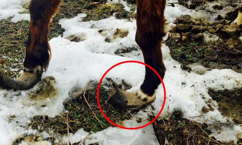 FLERE ÅRS VANSKJØTSEL: Høvene på frambeina til en av hestene, som blir tema når hesteeieren må møte i Drammen tingrett 20. april. Bildet er tatt rett etter at turgåere reagerte ved påsketider i fjor. Foto: Privat.