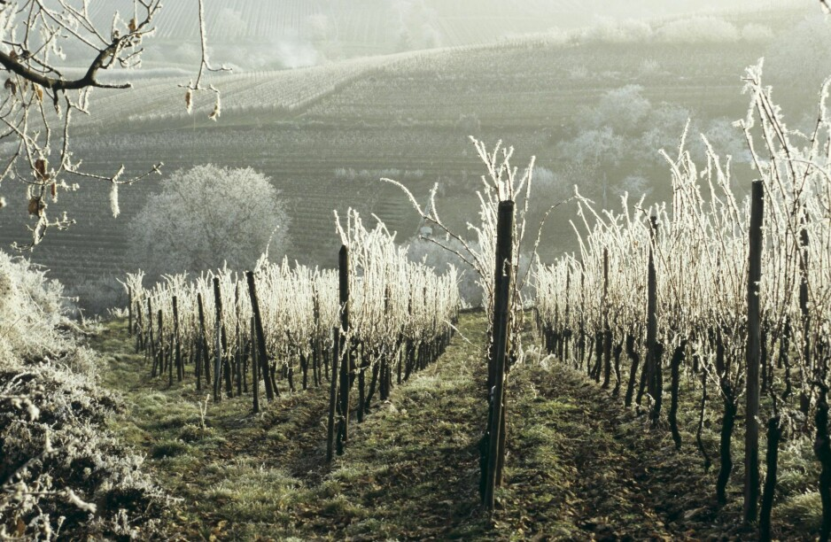 VINTER: Det virker som at vinterperioden uten klart definerte vinstiler i sesong er vanskelig å fylle med gode produkter, mener Dagbladets vinanmelder om vinmonopolets polslipp. Her fra kjølige vinmarker i Alsace i Frankrike. Foto: NTB Scanpix