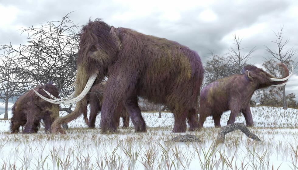 UTDØDD: Små populasjoner gjorde at mammutens genomer muterte. Det betydde slutten på mammuten. Foto: AuntSpray / Shutterstock / NTB scanpix