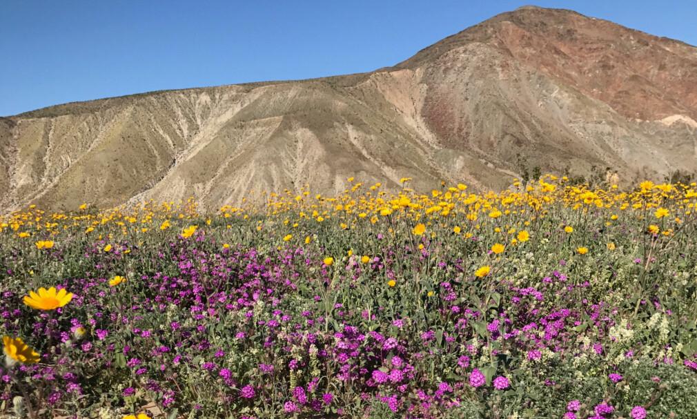 VÅKNET TIL LIV: Etter flere års tørke har California fått rikelig med nedbør i vinter. Det setter ikke minst vårblomstene i Anza-Borrego i det sørkige California pris på. Ørkenen blomstrer som den ikke har gjort på tolv år. Foto: NTB Scanpix