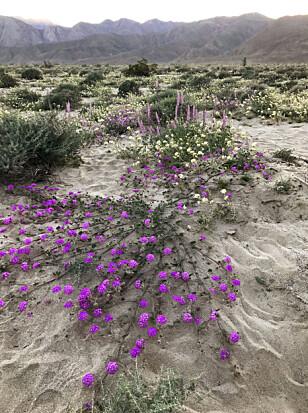 ENDELIG LIV: Flere år med tørke er over i California. Det synes ikke minst i den vanligvis så golde ørkenen. Nå yrer det av planteliv der. Foto: NTB Scanpix