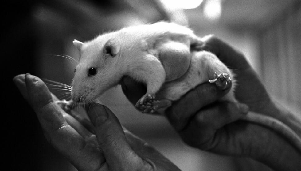 FORSKNING: Dyrestudier har ført til forstyrrelser, men får forskerne teste det på mennesker? Neppe, skriver artikkelforfatterne. Foto: NTB Scanpix