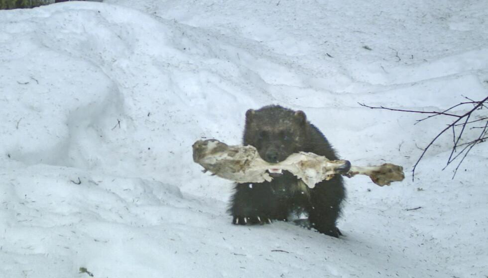 SULTEN: Kan jerven bekjempe sykdom hos rein? Jerven er en typisk åtseleter. Her har et eksemplar av arten i Nord-Trøndelag forsynt seg av et reinkadaver. Foto: Viltkamera.nina.no