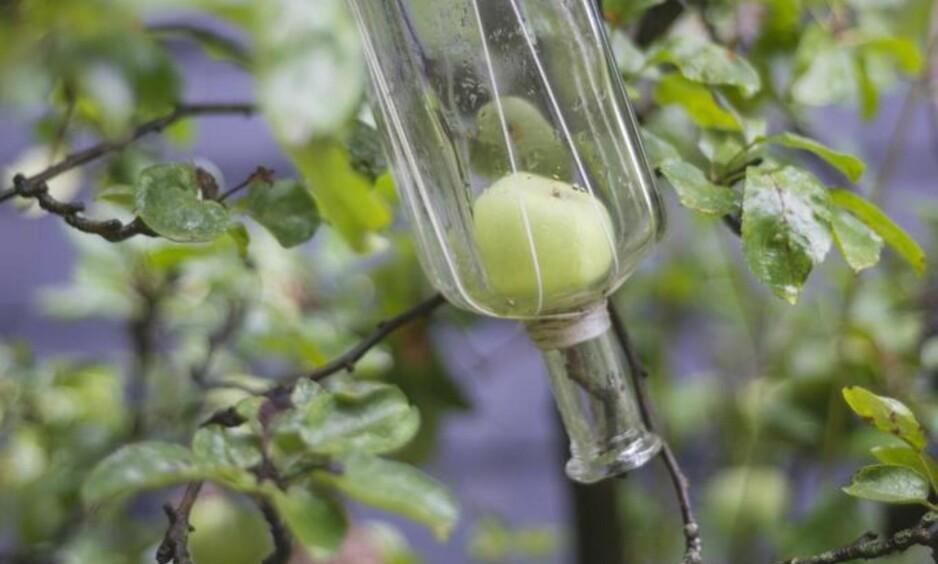 PÆRE PÅ FLASKE: Poire Williams er kanskje aller mest kjent for sine dekorative flasker med Williamspære inni. Om man befinner seg i Normandie er det ikke uvanlig å kunne få et glimt av pæretrær fulle av glassflasker. Foto: Shutterstock / NTB Scanpix