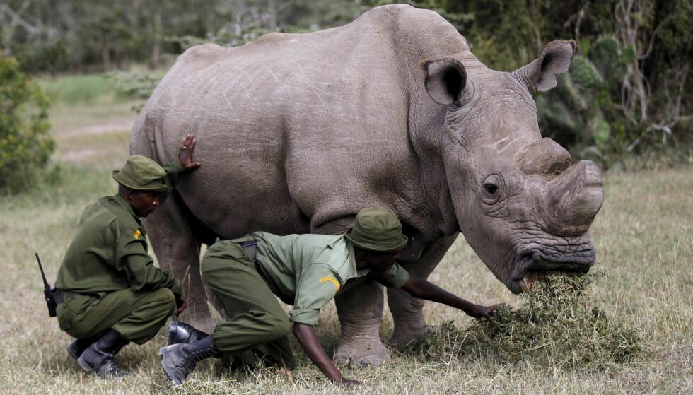 PÅ TINDER: Neshornet Sudan i Ol Pejeta-konservatoriet i Kenya sammen med to parkansatte. Foto: REUTERS/Thomas Mukoya/File Photo/File Photo