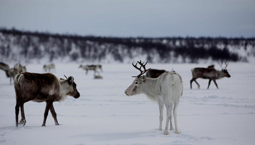 REINSDYR: Hvordan kan nedslakting av hele reinsdyrstammen i Nordfjella innen ett år gjennomføres uten at det blir et gedigent brudd på dyrevelferdsloven? spør artikkelforfatteren. Denne reinen befinner seg i Kautokeino. Foto: Stian Lysberg Solum /  NTB Scanpix