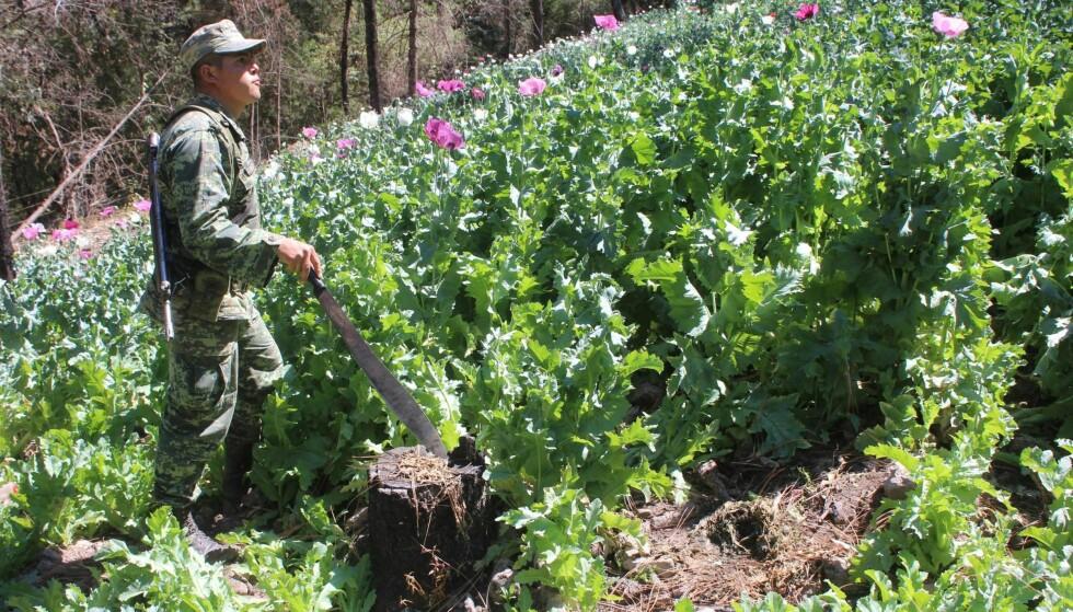 TREDOBLET: Bare fra 2013 til 2015 ble heroinproduksjonen nær tredoblet i Mexico. Her er en soldat i gang med å ødelegge opiumplanter brukt til å framstille heroin i Sinaola, Mexico, i mars.  Foto: Jesus Bustamente / Reuters/ NTB Scanpix