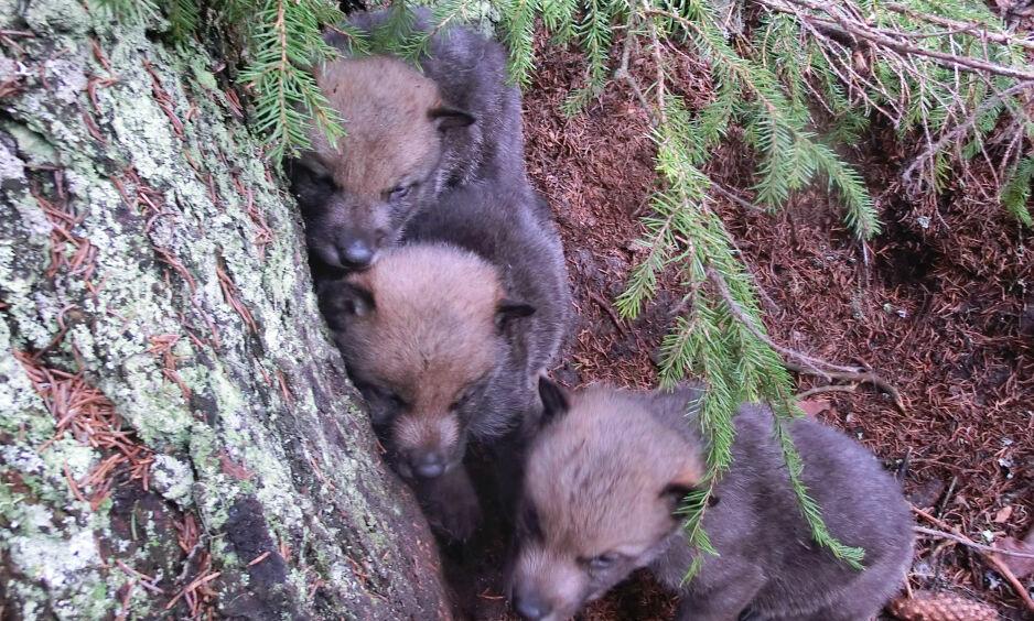 VALPER: Tre ulvevalper i Slettåsreviret. Det er påvist til sammen tolv valper  i Osdalenreviret og Slettåsreviret i forbindelse med forvaltningens GPS-merking av ulv i områdene.  Foto: Statens Naturoppsyn / NTB Scanpix