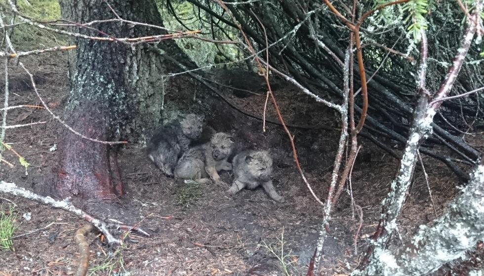 Tre ulvevalper i Osdalenreviret. Foto: Statens Naturoppsyn / NTB scanpix