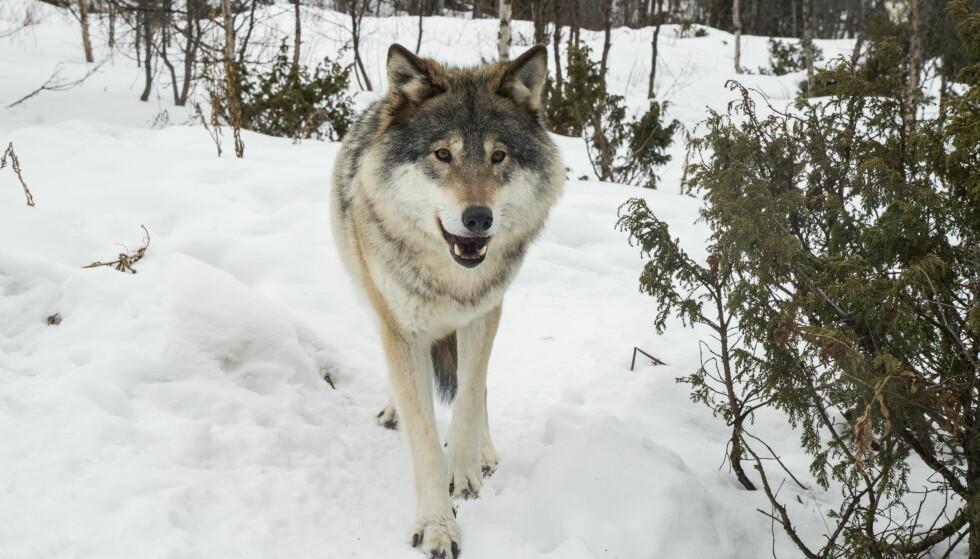ULV, ULV: I vinterens telling av ulver i Norge er det foreløpig registrert 88–92 dyr. Det er ventet at antallet registrerte ulver vil stige de neste månedene. Bildet viser en ulv på Langedrag. Foto: Heiko Junge / NTB scanpix