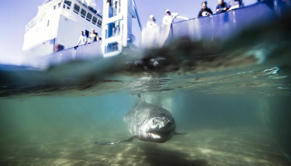 GRUNT VANN: En ung hvithai ble fanget og merket ved Montauk utenfor New York. Ekspedisjonen bekrefter at hvithaien tilbringer mye av sin ungdom i havet utenfor statene Massachusettes og New York Foto: NTBscanpix/Robert Snow