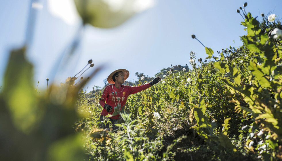 Skolegang: En av opiumsbøndene forteller at han har vurdert å dyrke andre ting, men akkurat nå må han dyrke opium for å ha råd til å betale for datterens skolegang - slik at hun kan få et bedre liv. Foto: Vilhelm Stokstad / Kontinent