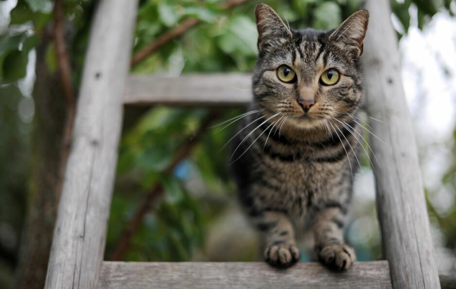 INGEN MENNESKERETT: - Vi skal kanskje ikke forby kattehold, men heller ikke legge opp til at det er en menneskerett å ha katt. Det er mange andre dyr som er mer egnet for hold i bynære strøk, sier Petter Bøckman. Illustrasjonsfoto: Frank May / NTB scanpix