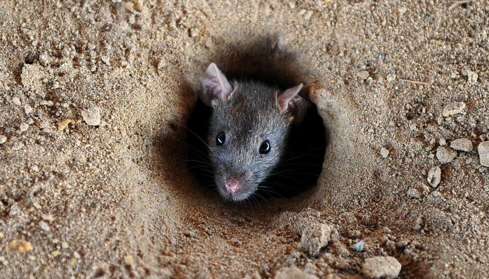 Tusenvis av rotter har invadert landsbyer i den sørlige delen av Myanmar. Illustrasjonsfoto. Foto: NTB scanpix
