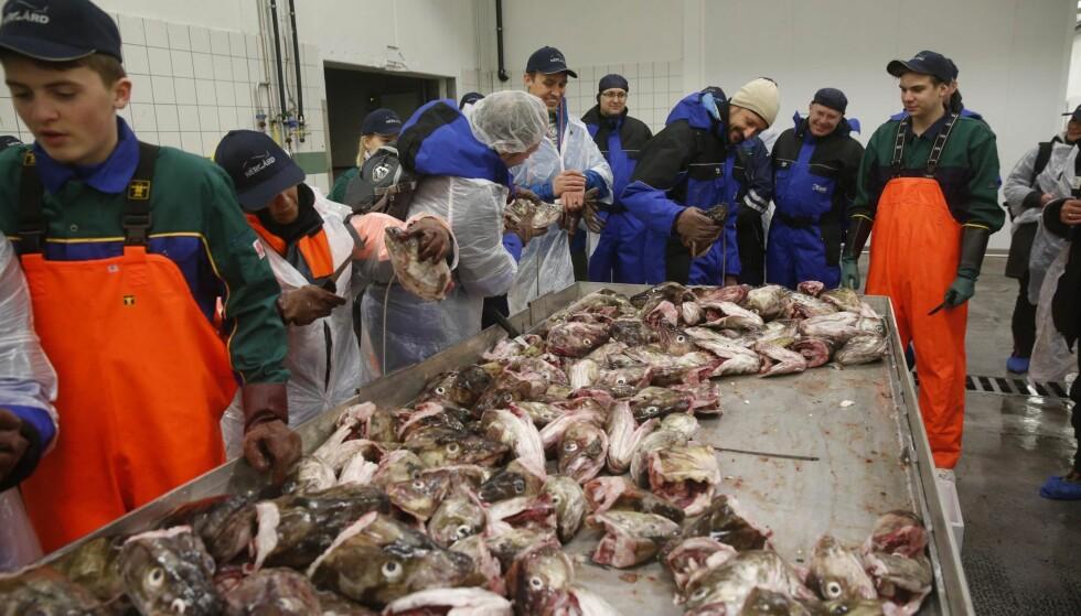 GAMMEL TRADISJON: I århundrer har ungene i Lofoten og Vesterålen vokst opp med å skjære torsketunger. Her lærer Trygve Flakstad (t.h.) kronprins Haakon å skjære torsketunger på fiskemottaket i Gryllefjord for to år siden.Foto: Cornelius Poppe / NTB Scanpix