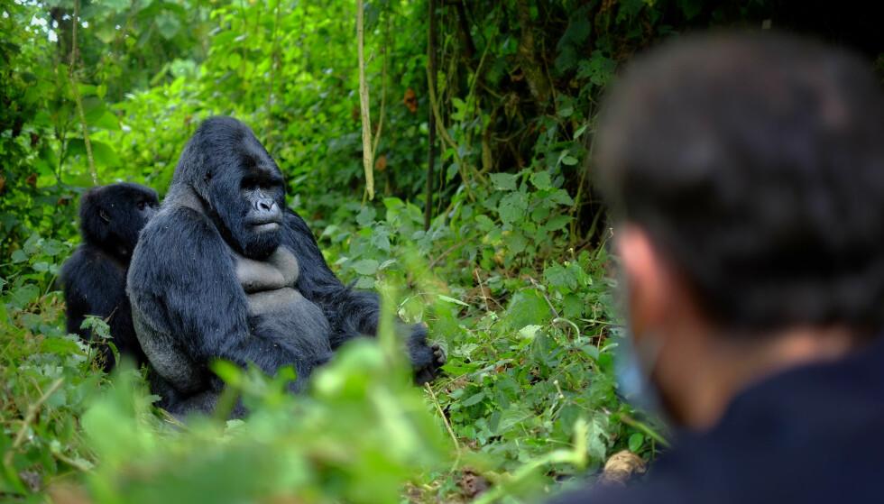 GORILLAENS RIKE: Fjell-gorillaene er blant Rwandas store attraksjoner. Sammen med den flotte afrikanske naturen. Foto: Shutterstock / NTB Scanpix