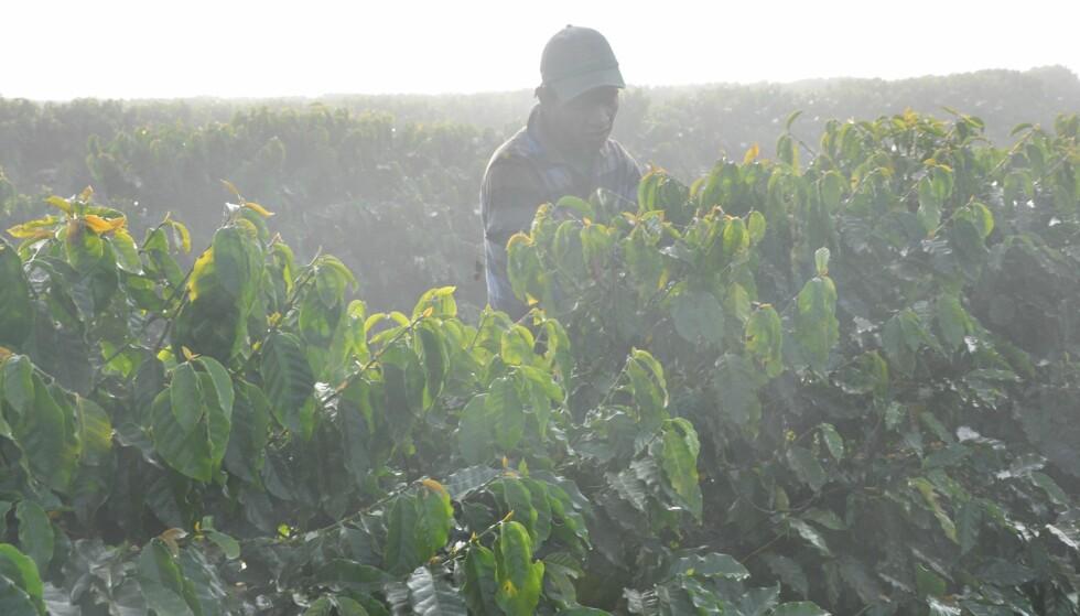 MILLIARDINDUSTRI: Brasil står for mellom 1/3 og halvparten av all kaffeproduksjon i verden. Foto: DANWATCH