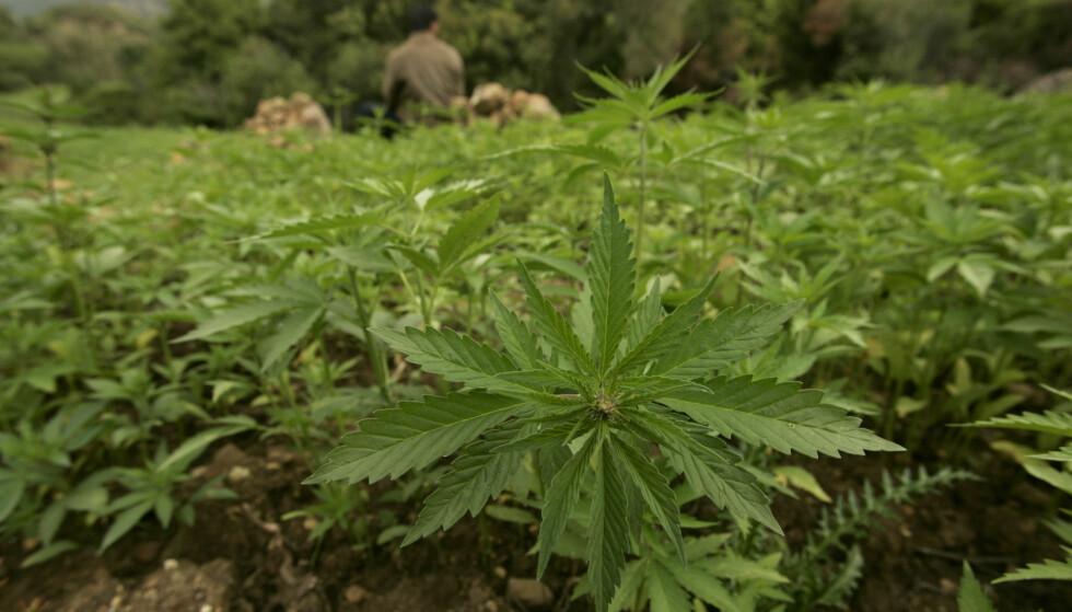 FRITT FRAM: Danske bønder får nå lov til å produsere medisinsk cannabis. Her fra en plantasje i Chefchaouen i Marokko. Foto: NTB Scanpix