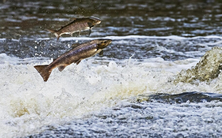HALVERT: Mengden villaks som gyter i norske elver er   allerede halvert de siste 30 årene, skriver kronikkforfatteren.   Foto: Tom Schandy / NN / Samfoto / NTB Scanpix