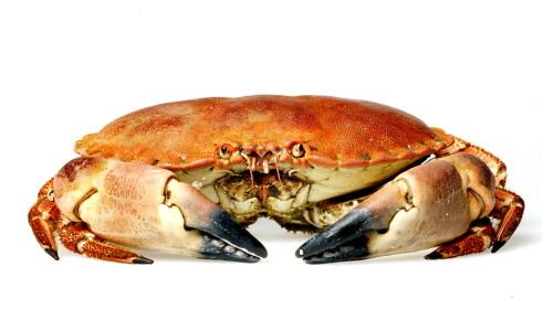 FARLIG GODT: Det er ikke farlig å spise krabbeklør, siden giften havner i det brune krabbekjøttet. Foto: Mette Møller/Dagbladet.
