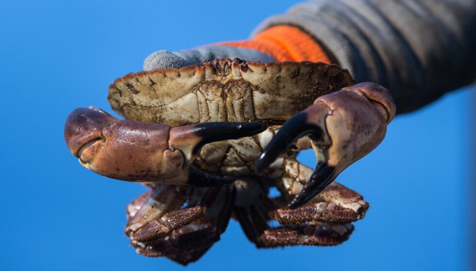 PSP-GIFT FUNNET I NORSKE KRABBER: Gode kontrollrutiner forhindret at krabbene ble distribuert til butikkene. Foto: NTB Scanpix