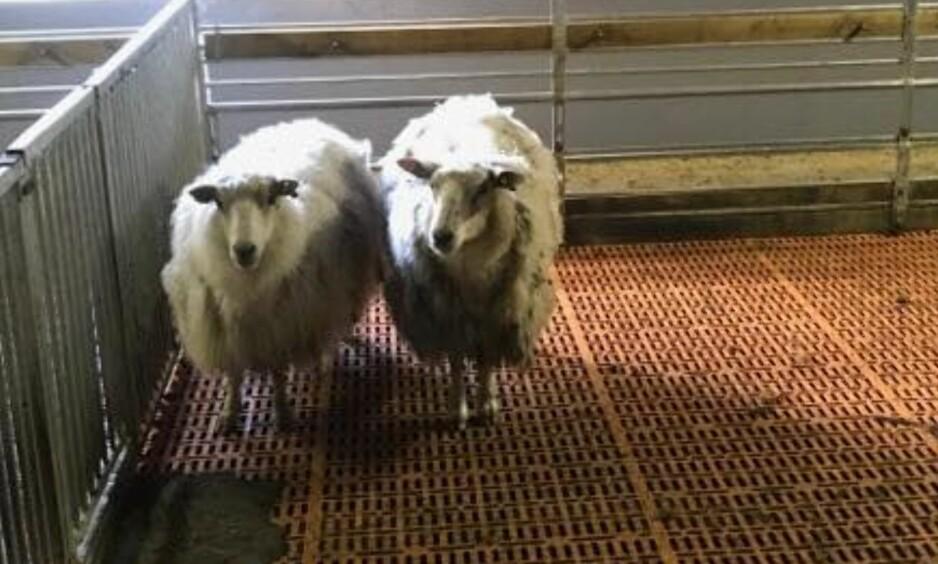 TILBAKE PÅ GÅRDEN: To sauer som forsvant fra en gård i Ryfylke i Rogaland er kommet til rette. Foto: Christer Mæhle