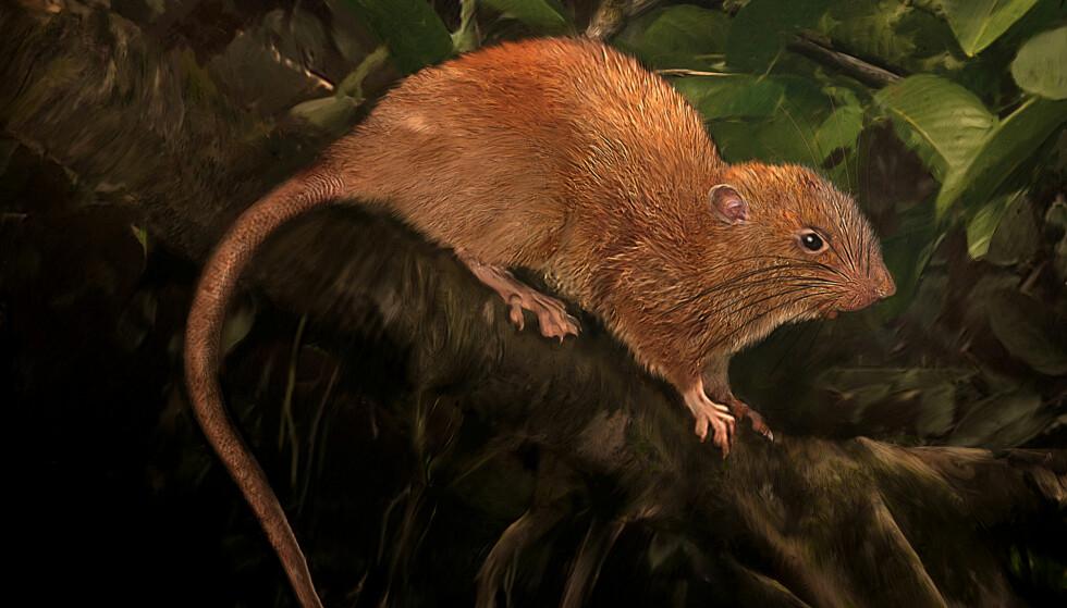 GIGANTROTTE: Rottearten som er blitt oppdaget på Solomon-øyene er en halv meter lang og har fått navnet uromys vika. Illustrasjon: Velizar Simeonovski/The Field Museum/Handout