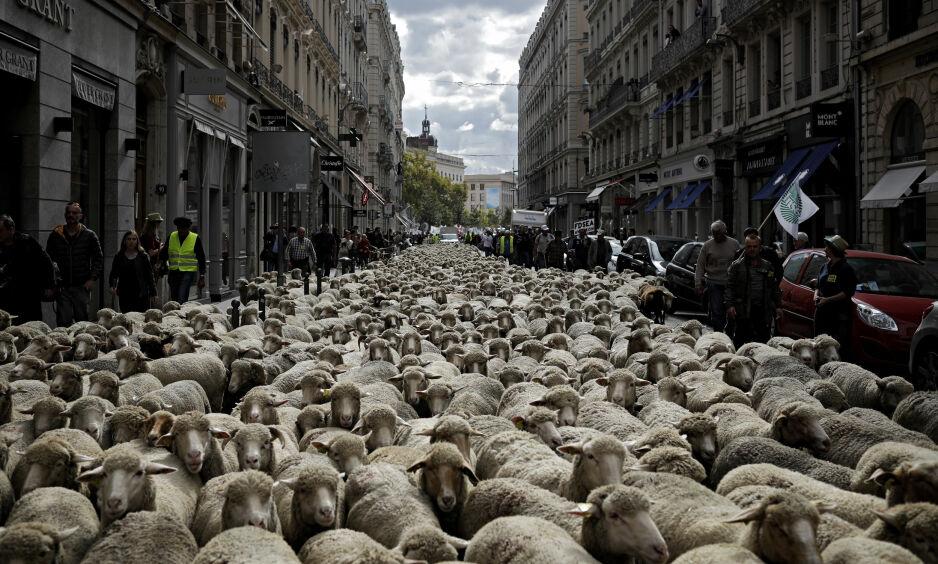 SAU: Franske sauebønder protesterer mot myndighetens ulvepolitikk og fylte Lyons gater med sauer. Foto: AP / NTB scanpix