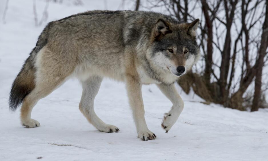 FÅR SP TIL Å REAGERE: Stansen av årets ulvejakt får Sp til å reagere. Foto: Heiko Junge / NTB scanpix