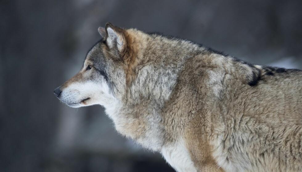 JAKTSTOPP: Årets ulvejakt stoppes midlertidig. Foto: Heiko Junge / NTB scanpix