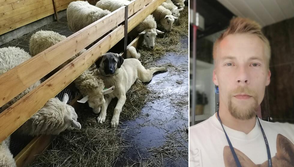 BILLIG KJØTT: På grunn av overproduksjon har prisen på sauekjøtt stupt. Sauebonde Anders Boltås gir sauekjøttet som fôr til hundene fordi det er rimeligere enn å selge det til Nortura. Foto: Privat