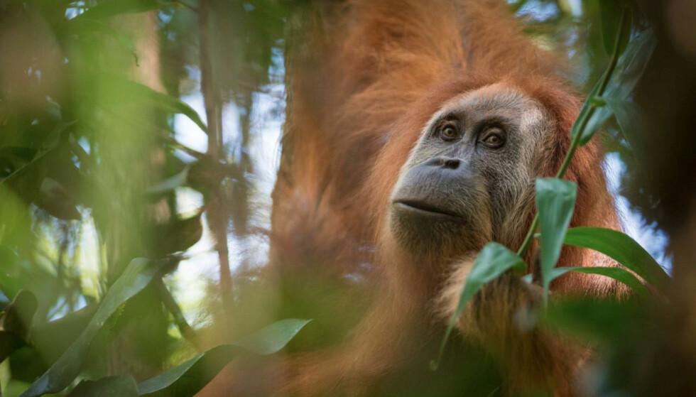 TAPANULI-ORANGUTANG: Denne apen har fått navnet Pongo tapanuliensis og er nå den mest utrydningstruede menneskeapearten som finnes. Foto: Andrew Walmsley / Handout via Reuters / NTB Scanpix