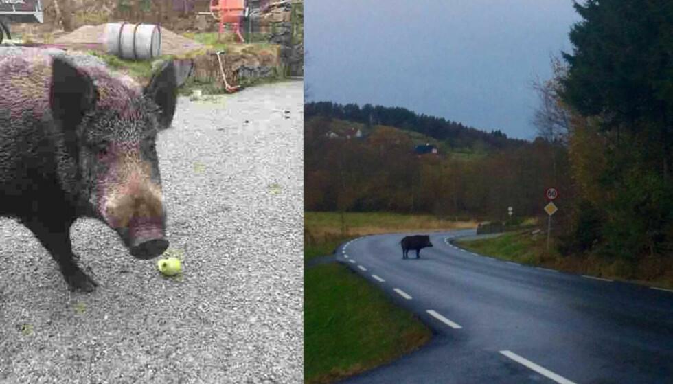 PÅ RØMMEN: Et stort villsvin er på rømmen i Rogaland. Bildet til venstre er tatt like før klokka 12 i formiddag, politiet fikk tilsendt bildet til høgre klokka 10. Foto: Cathrine Gjedrem og Julia Voster / NTB Scanpix