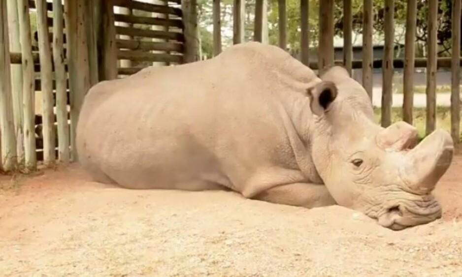 ENSOM?: Man skulle nesten tro at neshornet Sudan forstår alvoret der han ligger på den støvete bakken. Han er verdens eneste gjenlevende, nordlige hvite hann-neshorn. Foto: Daniel Schneider / Twitter