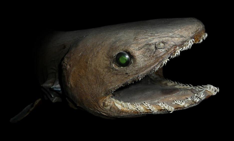 FRYKTINNGYTENDE: Kragehaien har 300 tenner fordelt på 25 karakteristiske rader i munnen, og har bidratt til myter om sjøuhyrer. Bildet viser et utstoppet eksemplar fra akvariet i Paris. Foto: Citron / CC-BY-SA-3.0 / Wikimedia Commons