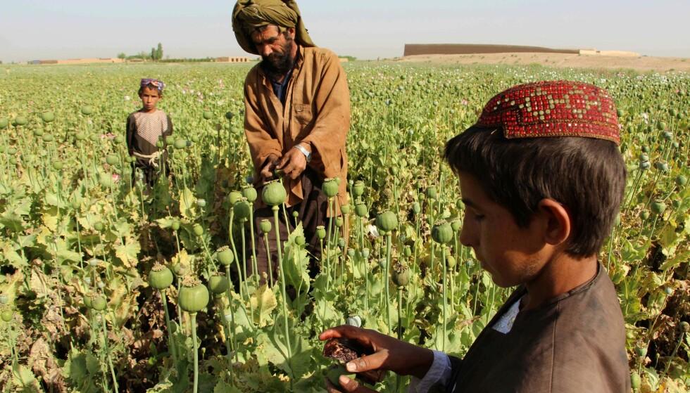 RIK OPIUMSHØST: Årets avling har vært god for afghanske opiumsbønder. Bildet er fra Helmand-provinsen. Foto: Noor Mohammad/AFP/NTB Scanpix