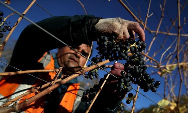 ILD OG RØYK: Mange vingårder fikk mindre skader av røyk og ild under skogbrannene. Her høstes de siste druene på en vingård i Sonoma, etter at de ansatte igjen trygt kunne bevege seg i vinmarkene. Foto: AFP/NTB Scanpix