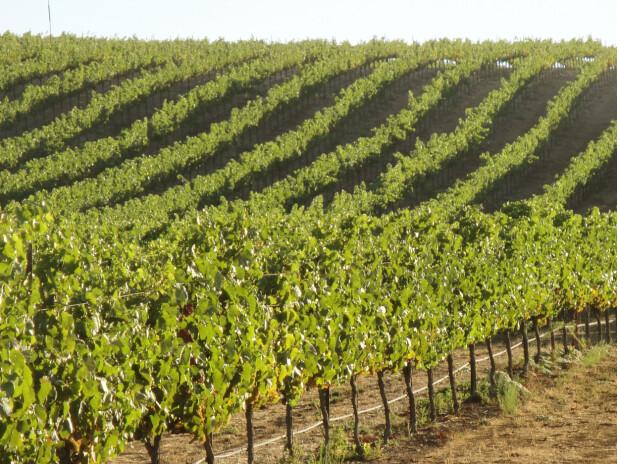 SOLFYLTE VINMARKER: Mesteparten av druene var høstet før brannene startet. Foto: California Wine Institute