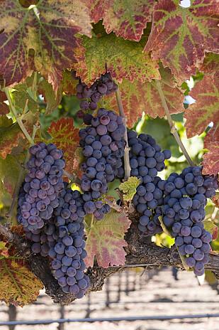 SNART VIN: Zinfandel er en av de viktigste druesortene i California. Foto: California Wine Institute